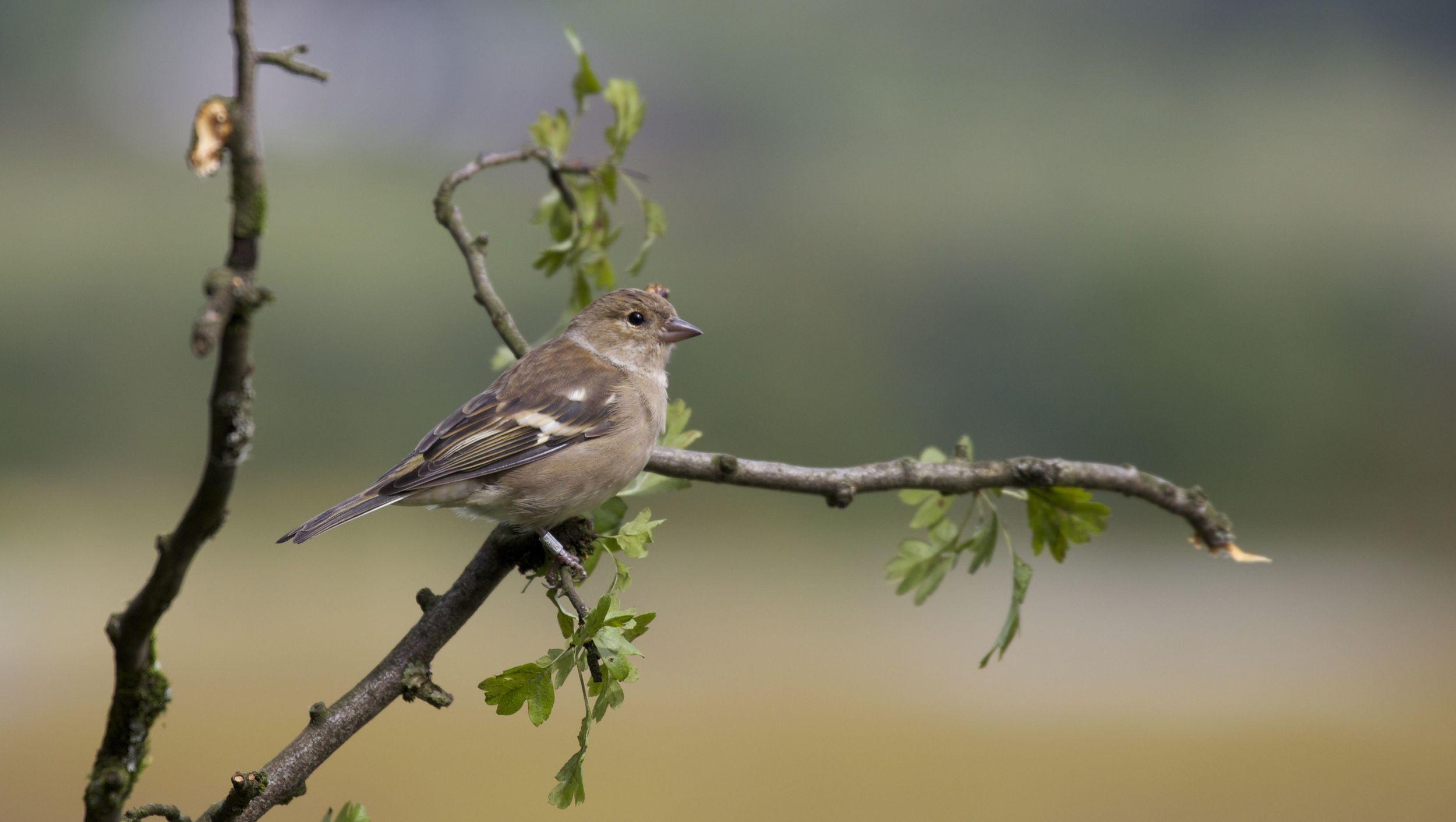 Chaffinch (female),Lochwhinnoch, Scotland