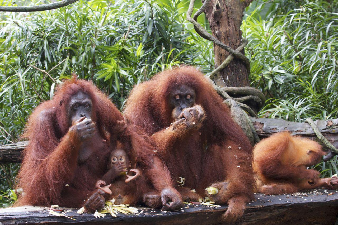 Orangutans, Singapore Zoo, Singapore