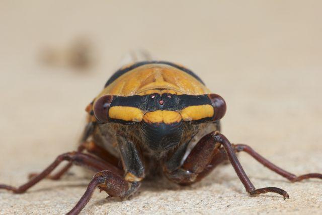 Golden Drummer Cicada, Alice Springs, NT