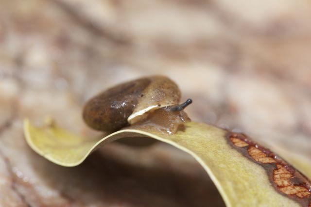 Jessie Gap Hairy Snail, Jessie Gap, NT