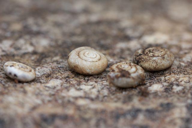 Shells of the Jessie Gap Hairy Snail, Jessie Gap, NT