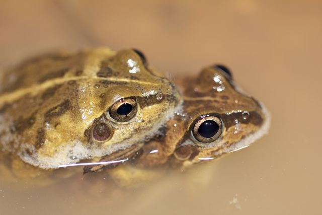 A pair of mating Main's Frog, Alice Springs, NT