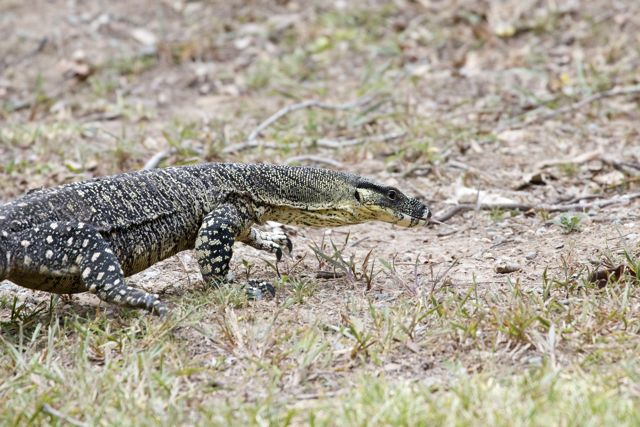 Lace Monitor, Mt Tamborine, QLD