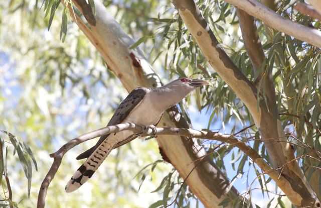 Channel-bill Cuckoo scanning the surroundings, Alice Springs, NT