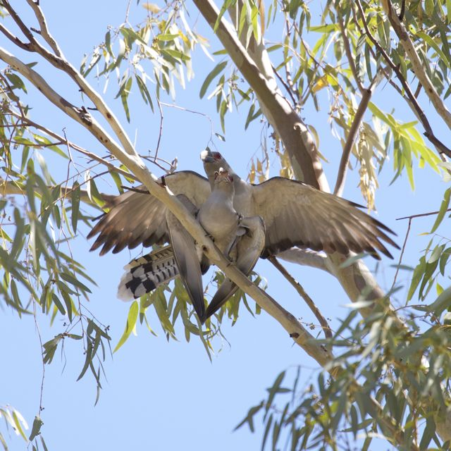 Mating Channel-bill Cuckoos, Alice Springs, NT