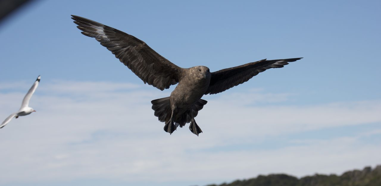 Brown Skua, Stewart Island, New Zealand