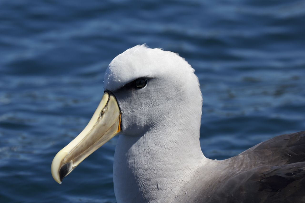 Salvin's Albatross ( Thalassarche salvini ), Stewart Island, New Zealand