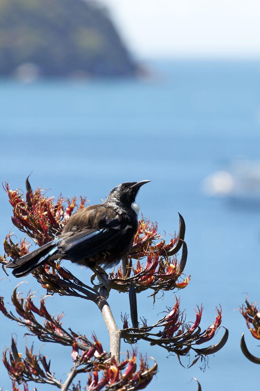 Tui,Stewart Island, New Zealand