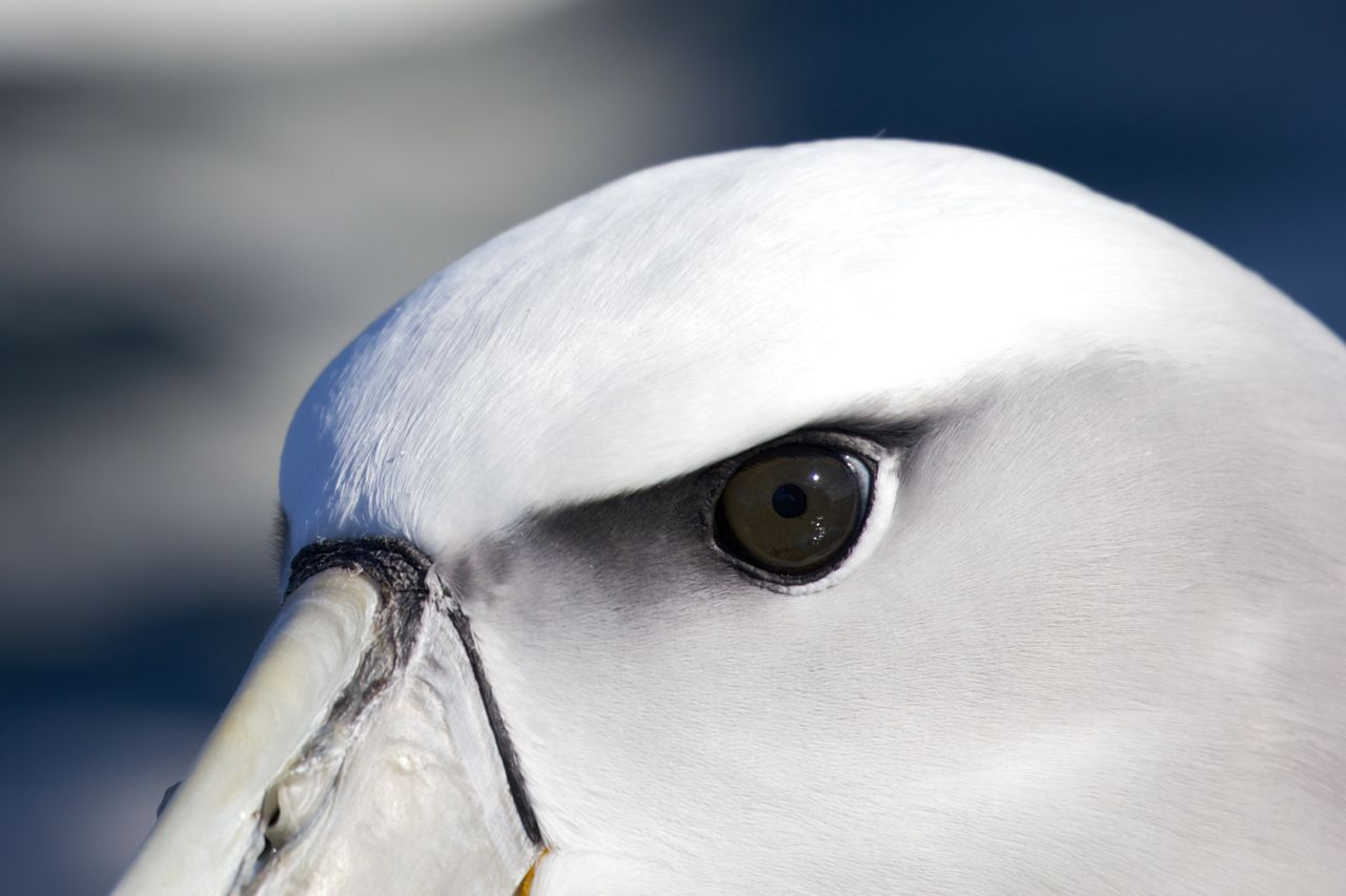 White-capped Molymork, Stewart Island, New Zealand