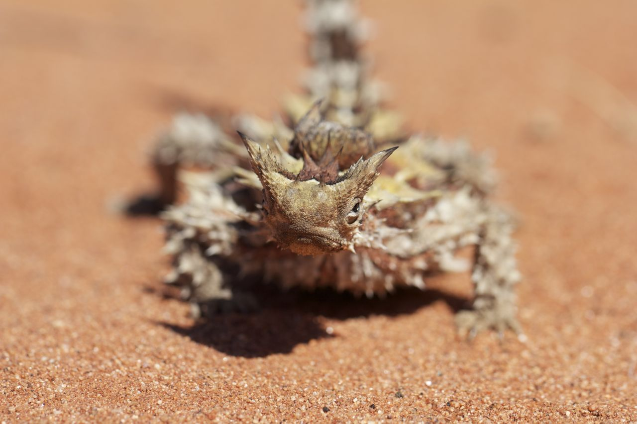 Grim-faced Thorny Devil, Stuart Hwy south of Alice Springs, NT