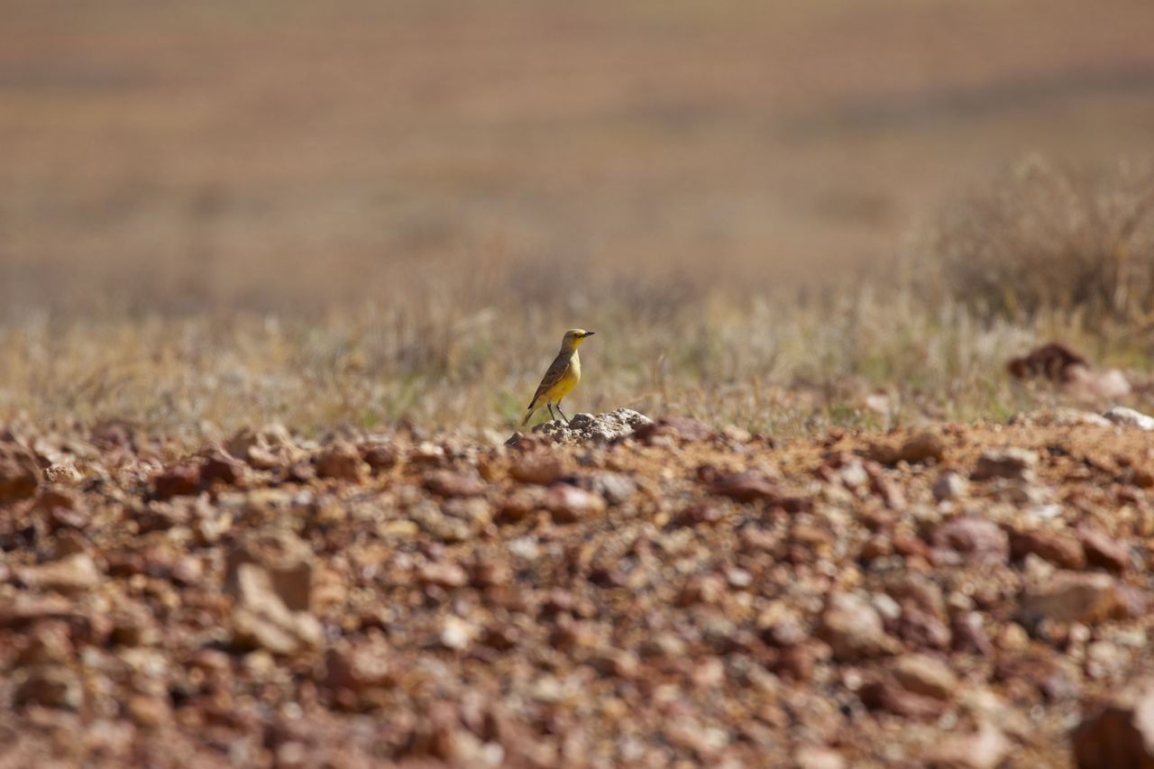 Gibberbird perched high atop a 'rise' in the gibber plain, Coober Pedy, SA