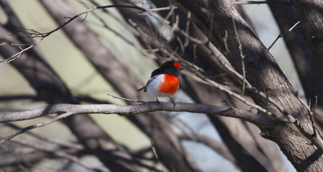 Red-capped Robin ( Petroica goodenovii ), Alice Springs, NT