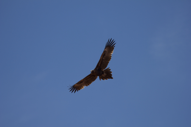 Wedge-tailed Eagle ( Aquila audax ), Alice Springs, NT