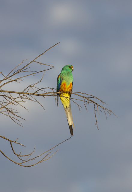 Mulga Parrot (male), Alice Springs, NT