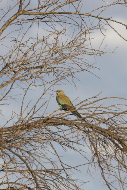 Mulga Parrot (female),Alice Springs, NT