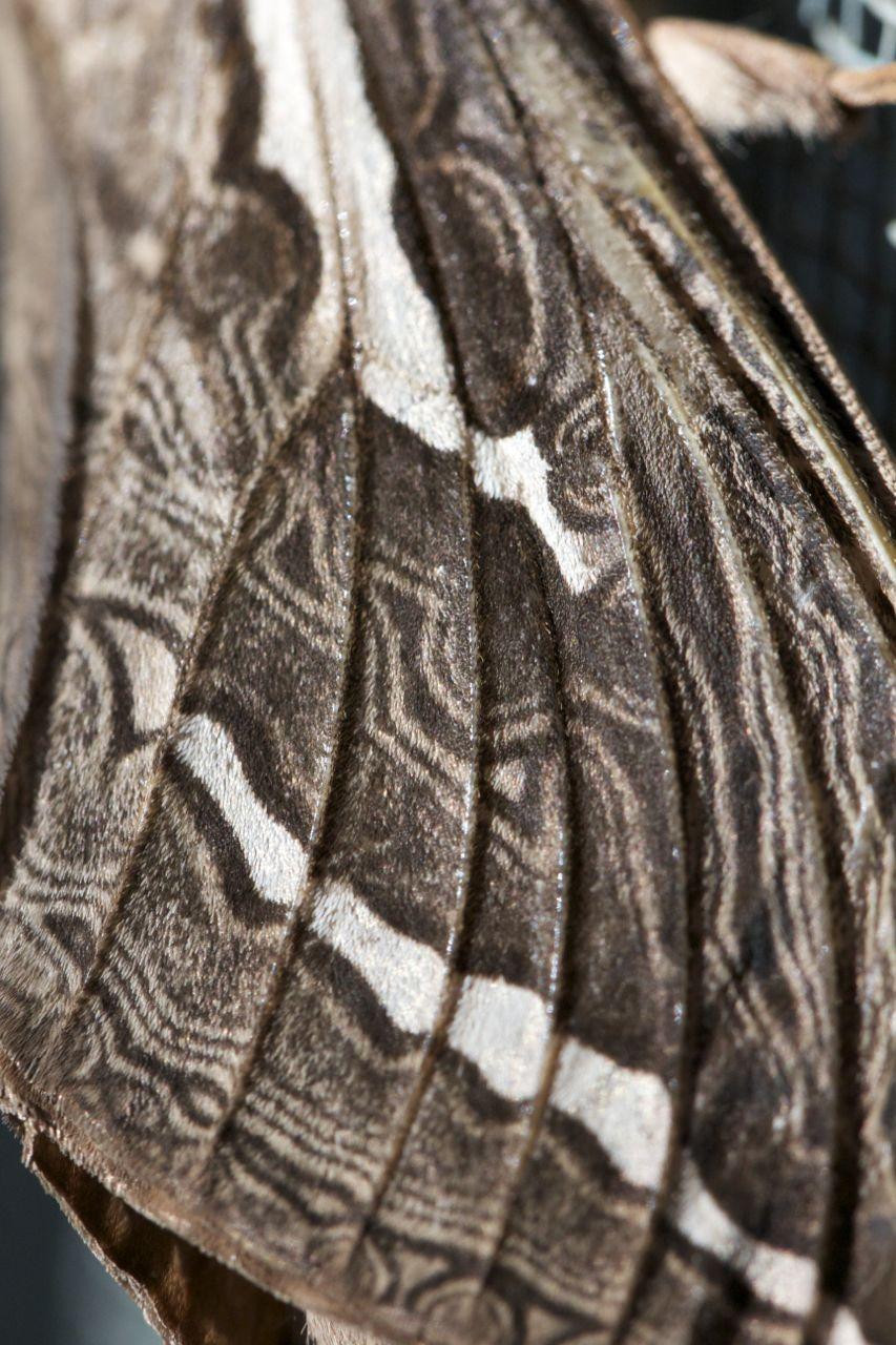 Detail of a wing, Privet Hawk Moth, Alice Springs, NT