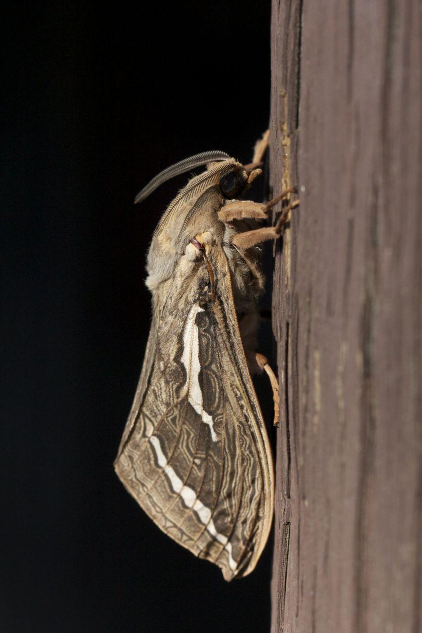 Privet Hawk Moth, Alice Springs, NT