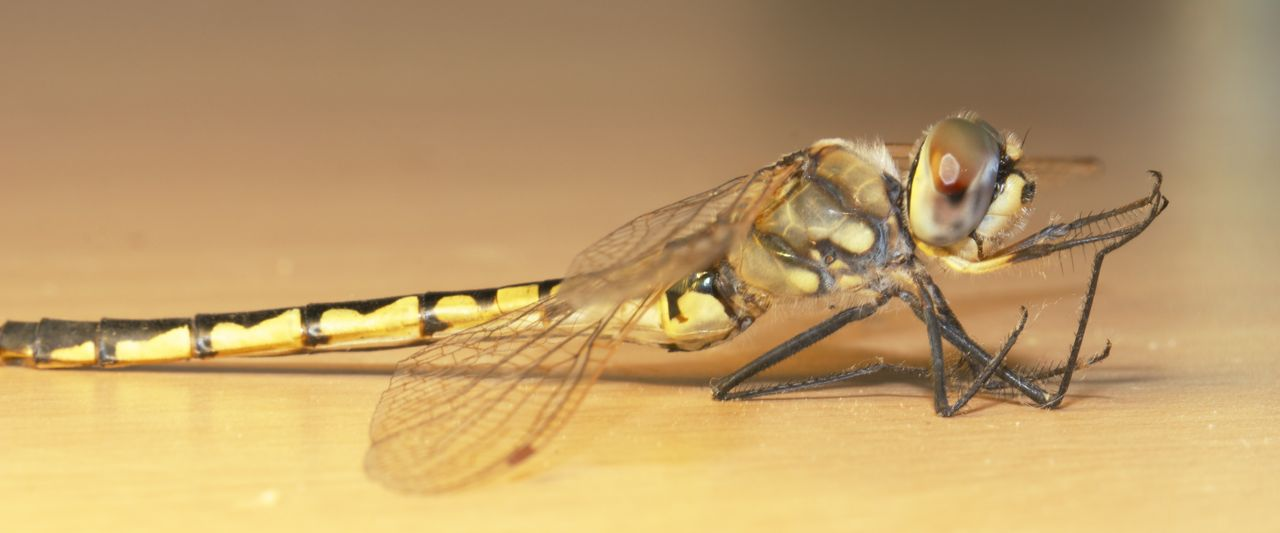 Dragonfly, Alice Springs, NT