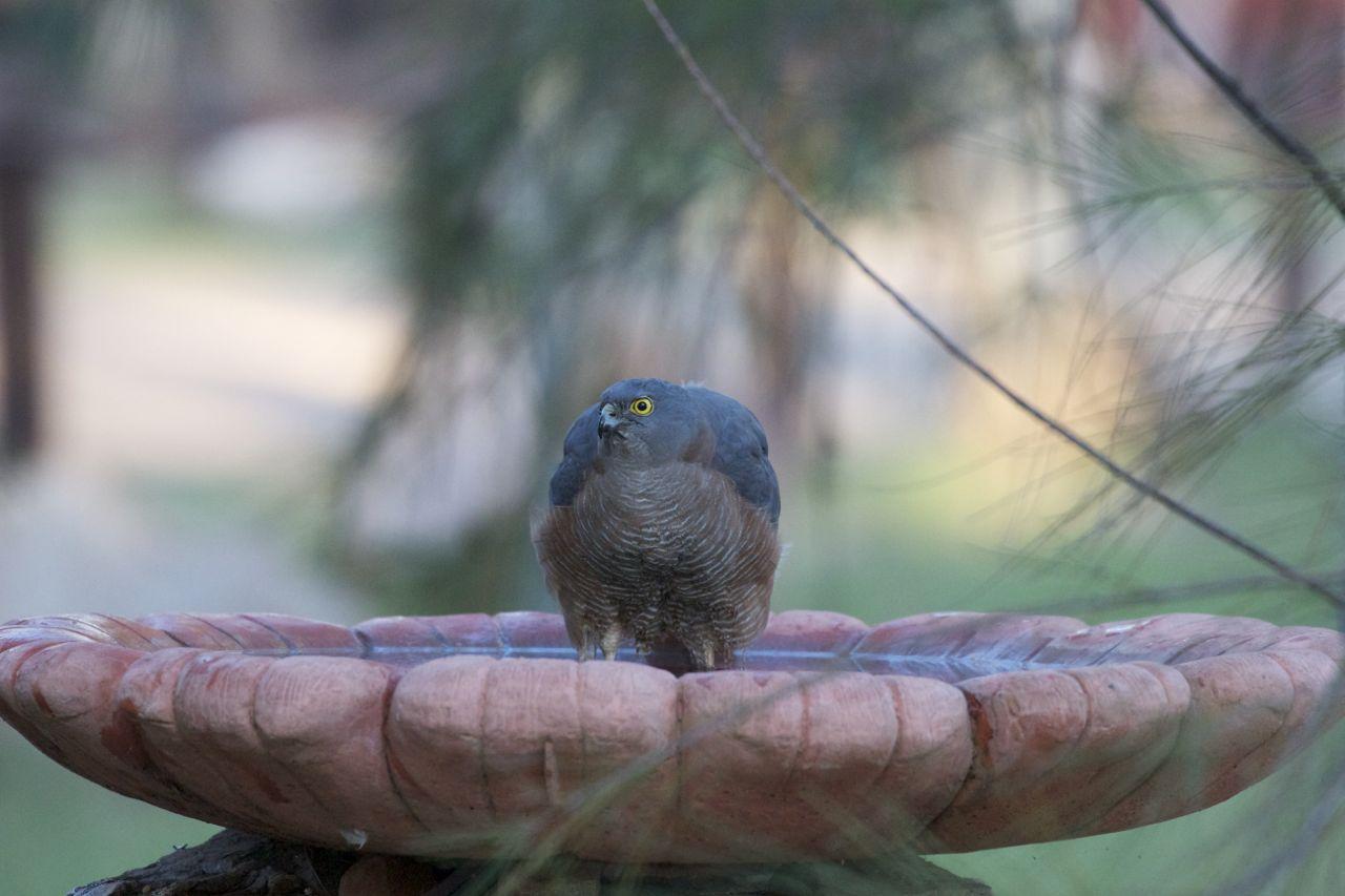 Collared Sparrowhawk in the birdbath, Alice Springs, NT