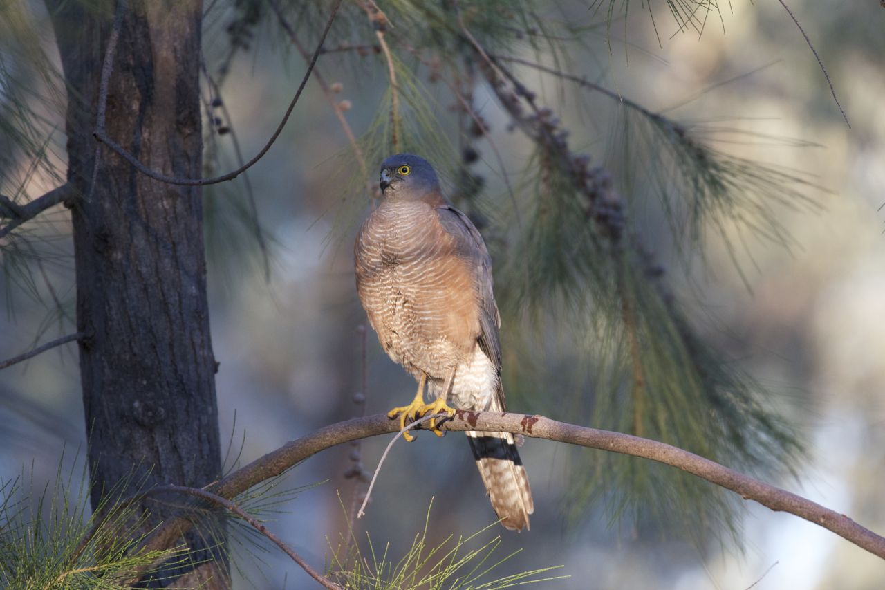 Collared Sparrowhawk with wet footprint, Alice Springs, NT