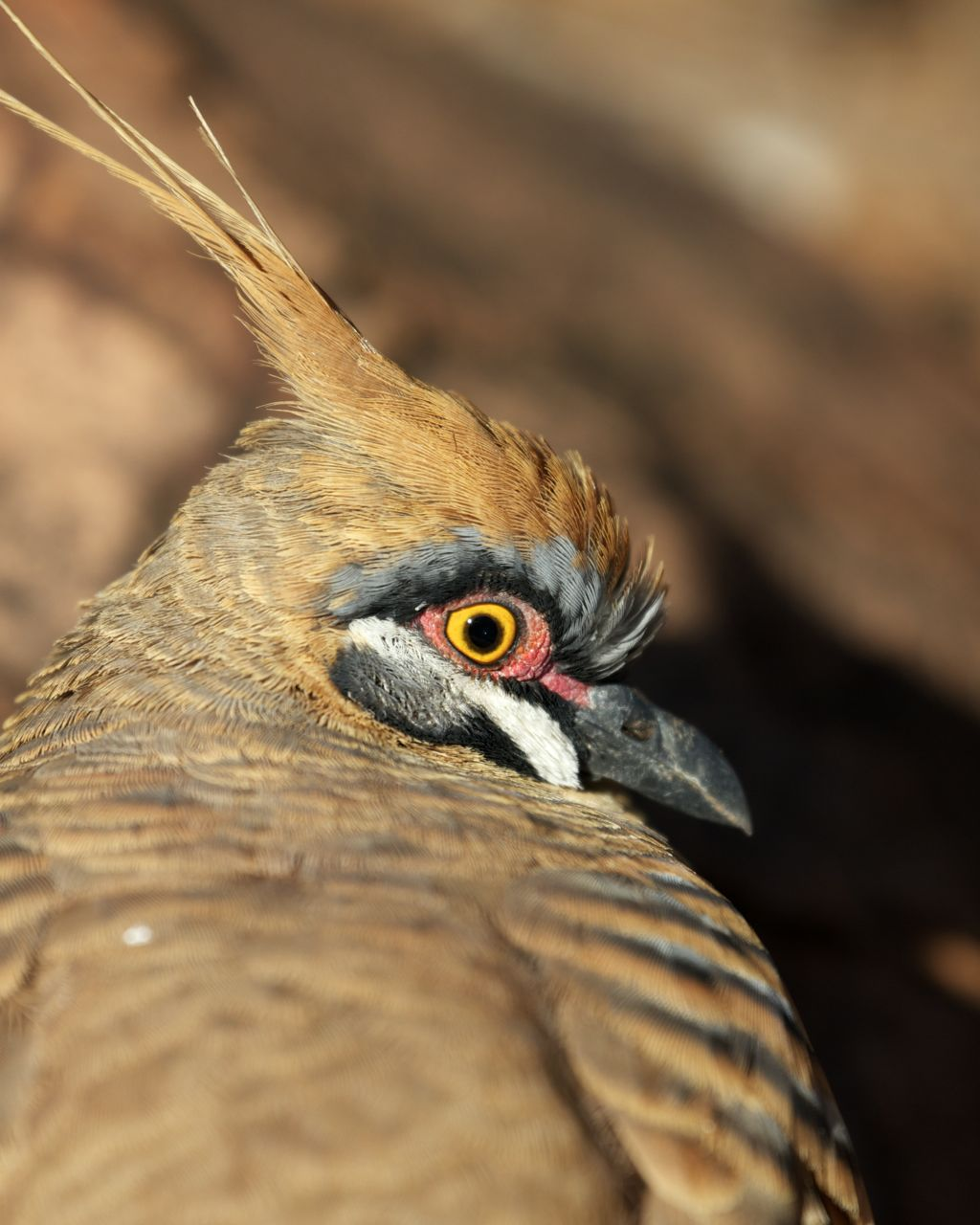 Spinifex Pigeon, Alice Springs, NT