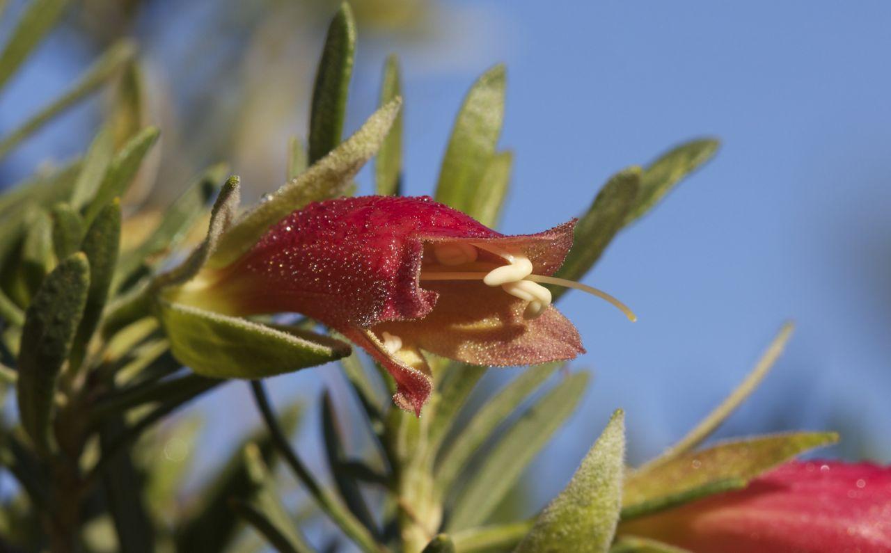 Eremophila latrobei , Alice Springs, NT