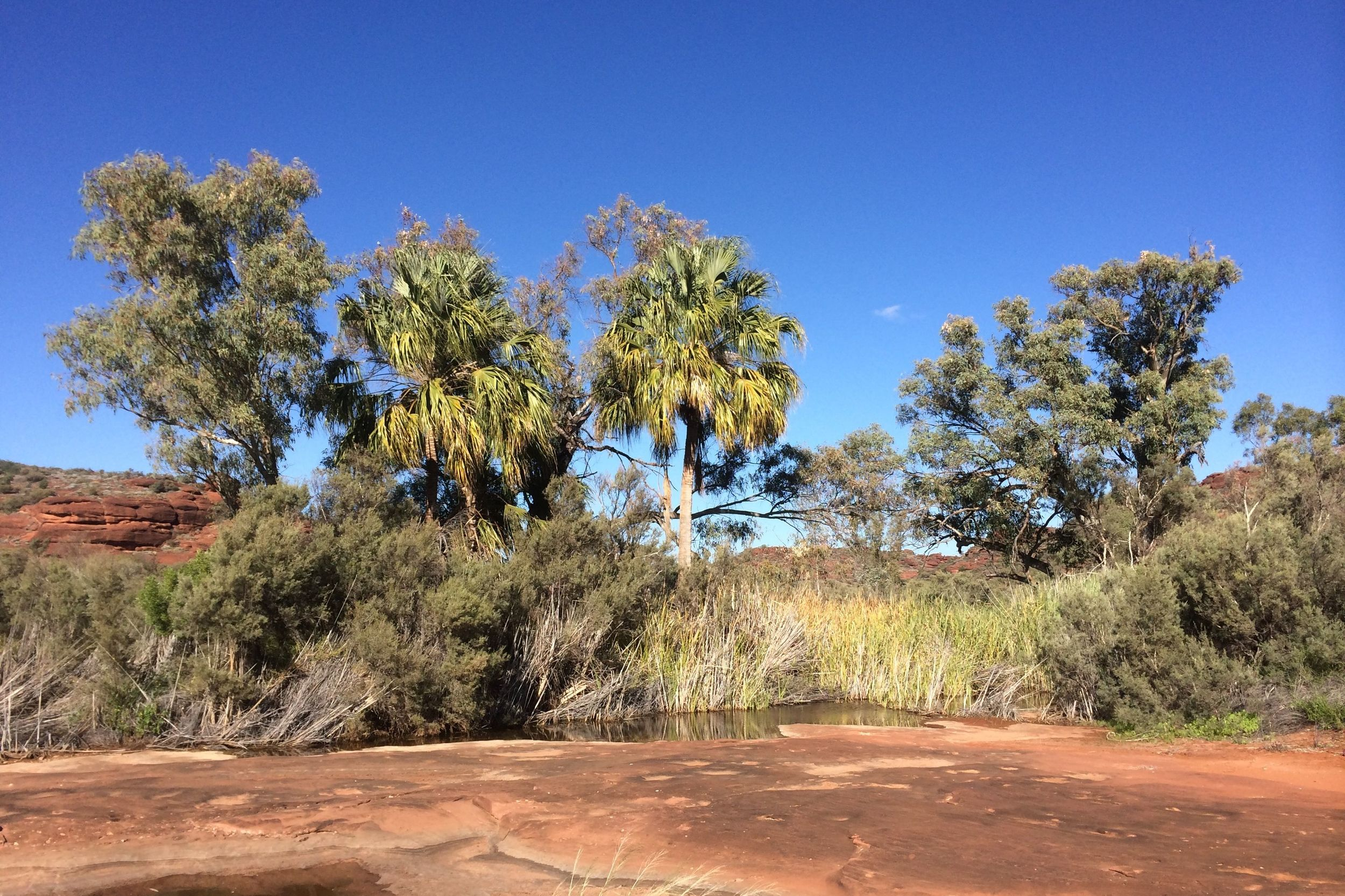 Red Cabbage Palms, Palm Valley, Finke Gorge National Park, NT