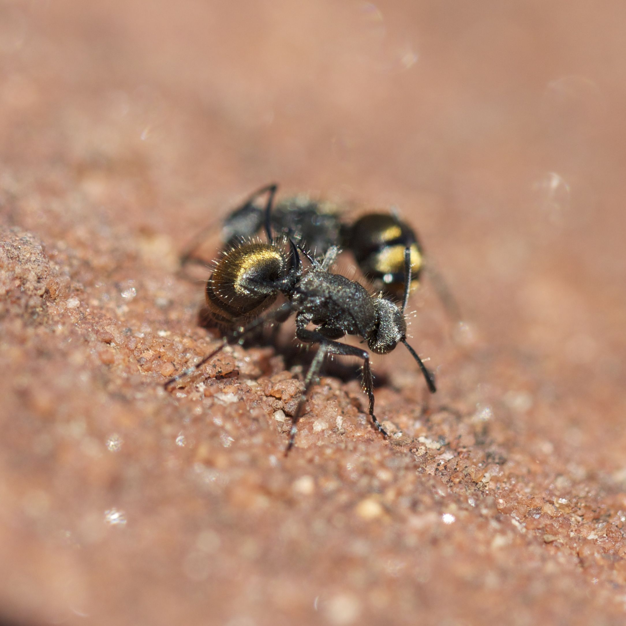'Golden Bum' ants, Finke Gorge National Park, NT