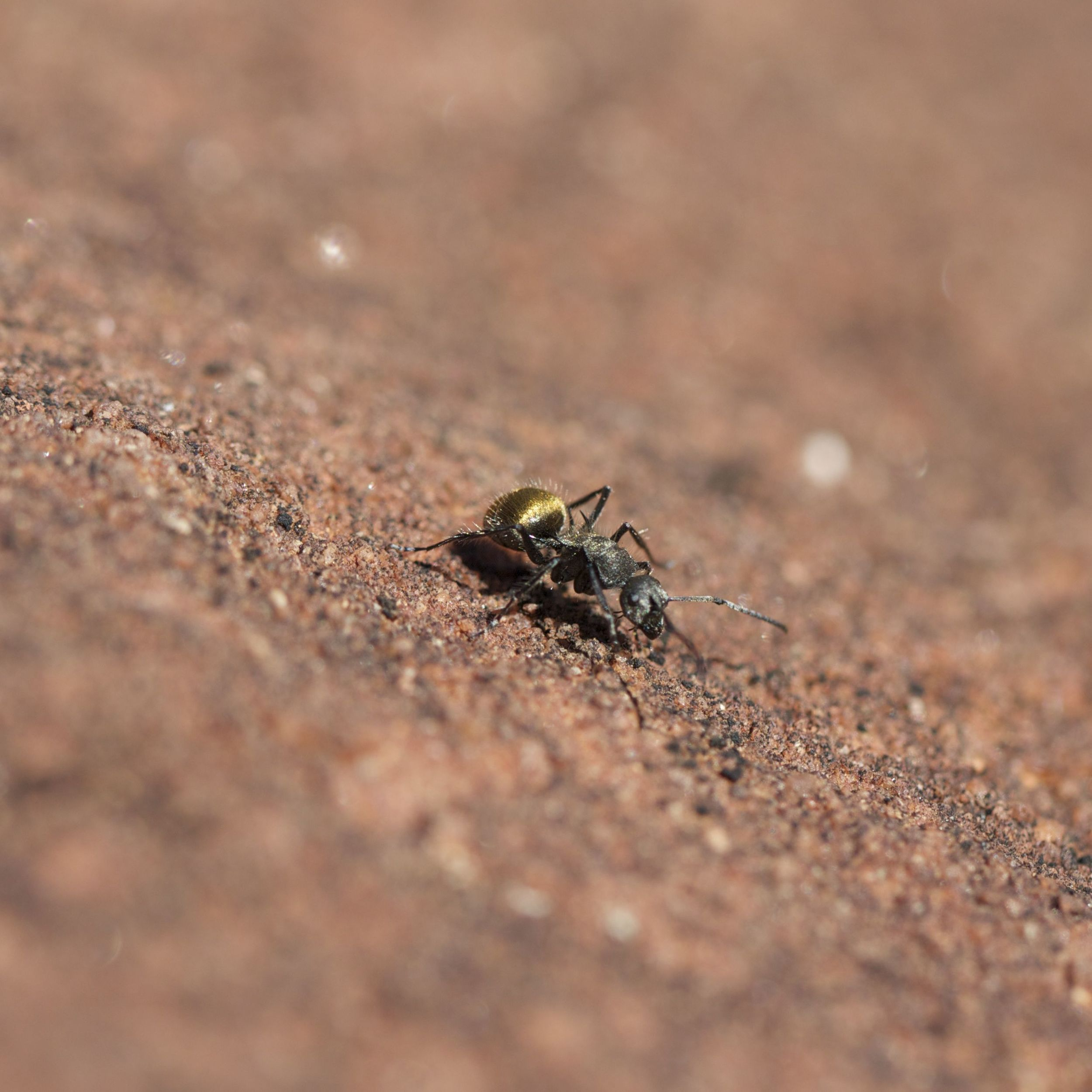 'Golden Bum' ants, Finke Gorge National Park, NT