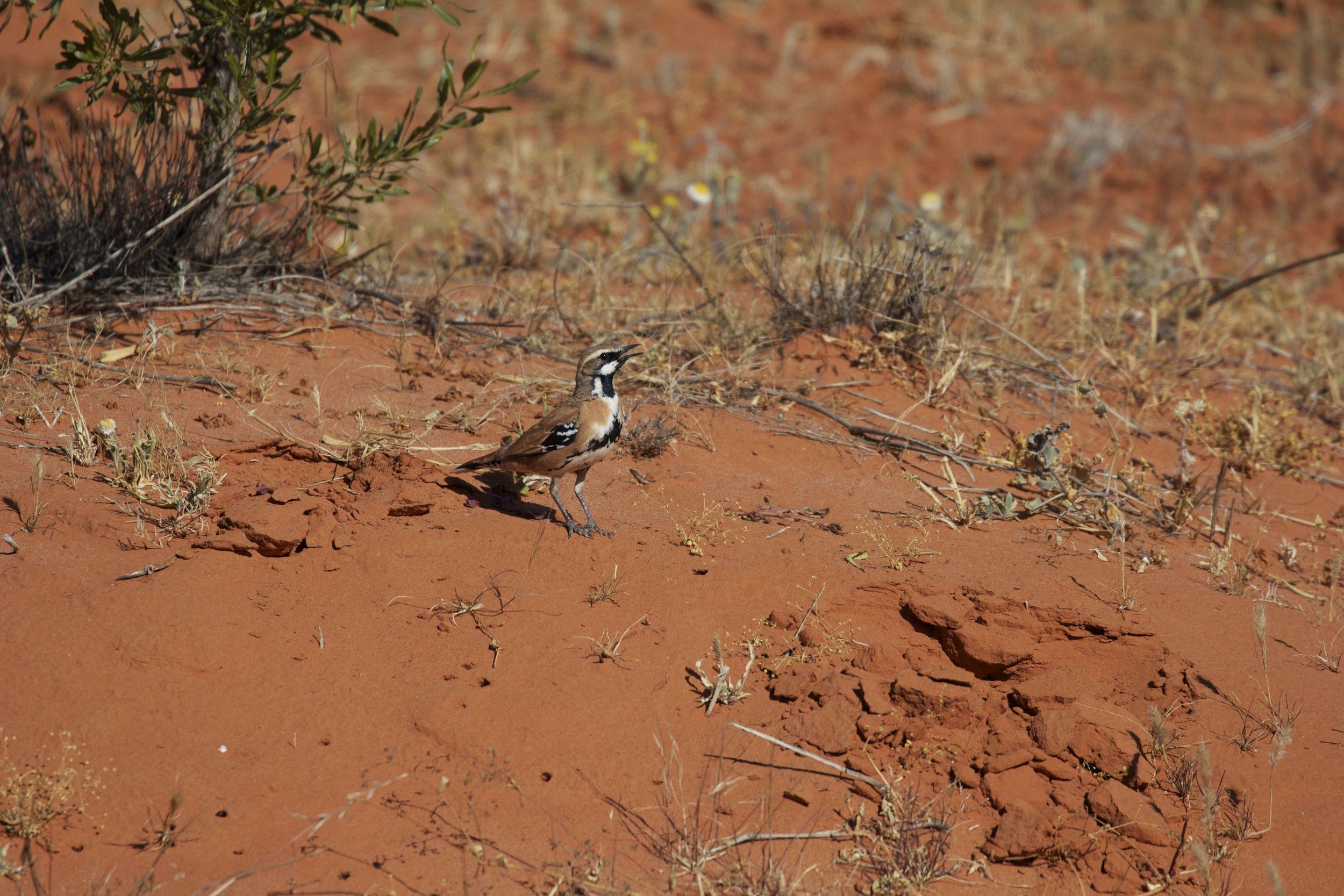 Cinnamon Quail-thrush, Simpson Desert, NT