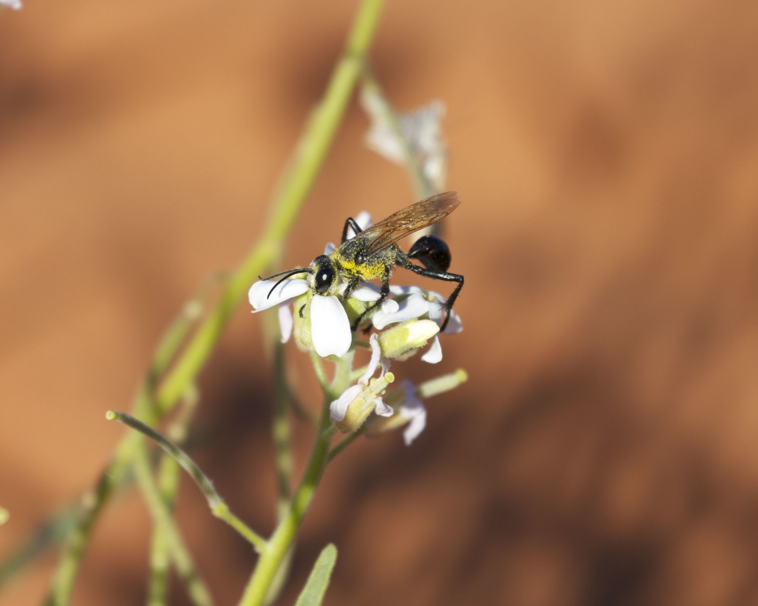 Wasp pollinating flowers, Simpson Desert, NT