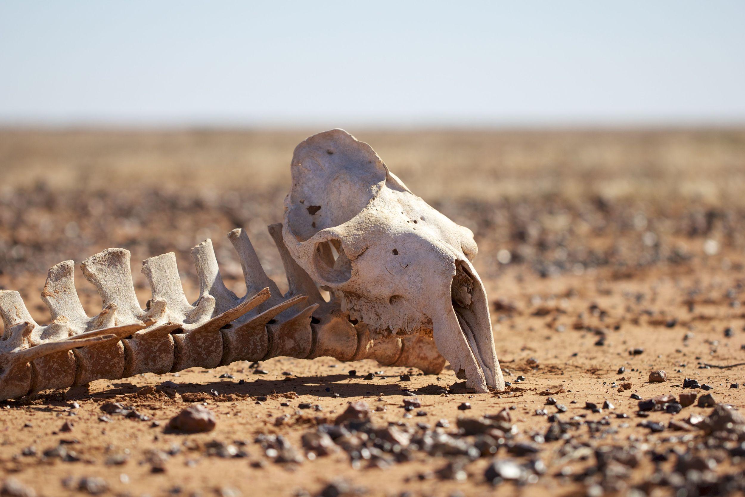 Camel skeleton,Simpson Desert, NT
