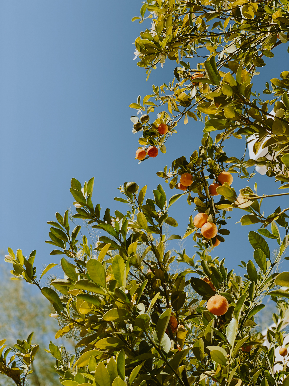 ace_hotel_palm_springs_fruit_trees_lemon.jpg