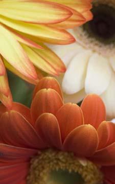 petalsinorangeandyellow.jpg