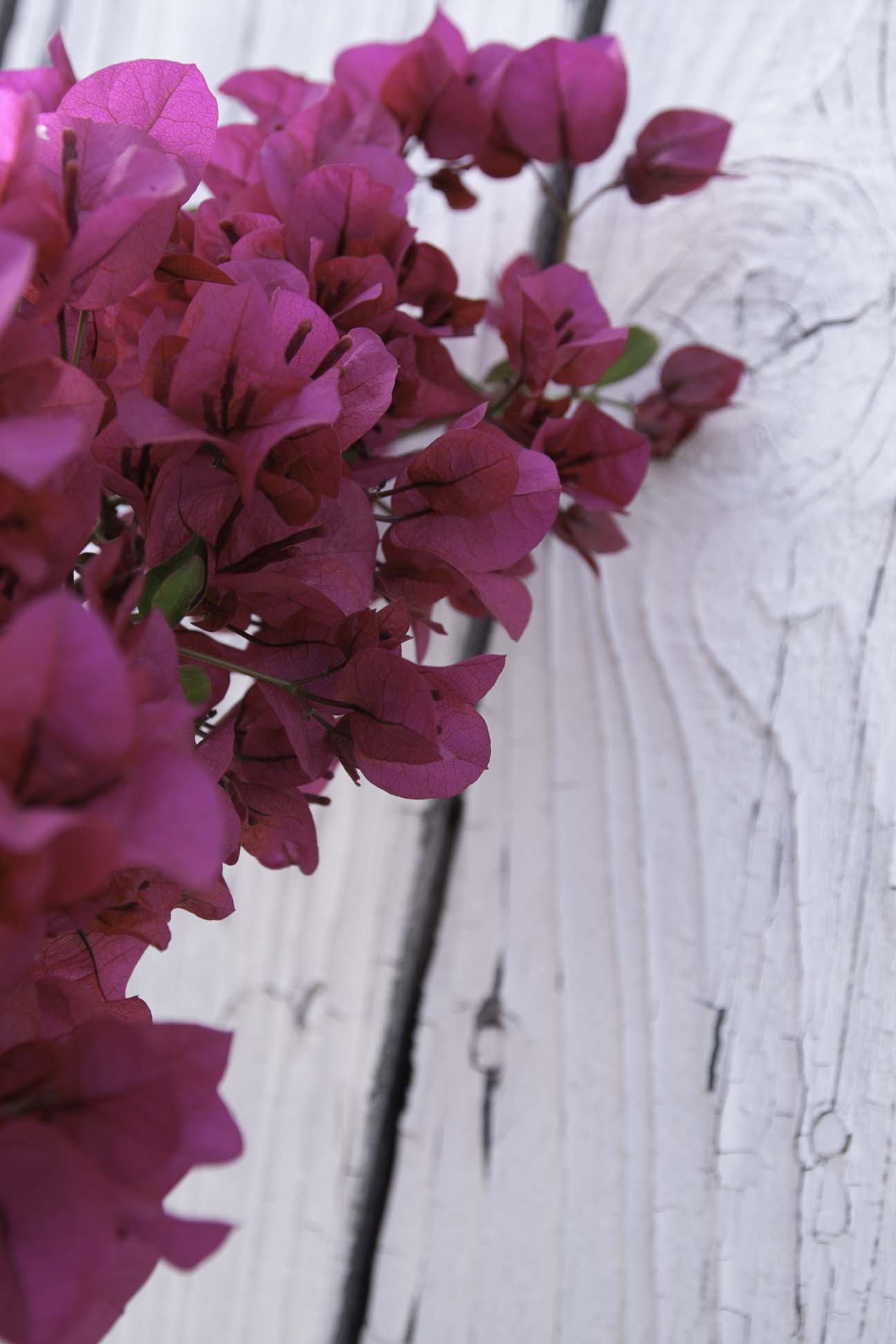 fusia floawers on white wall.jpg