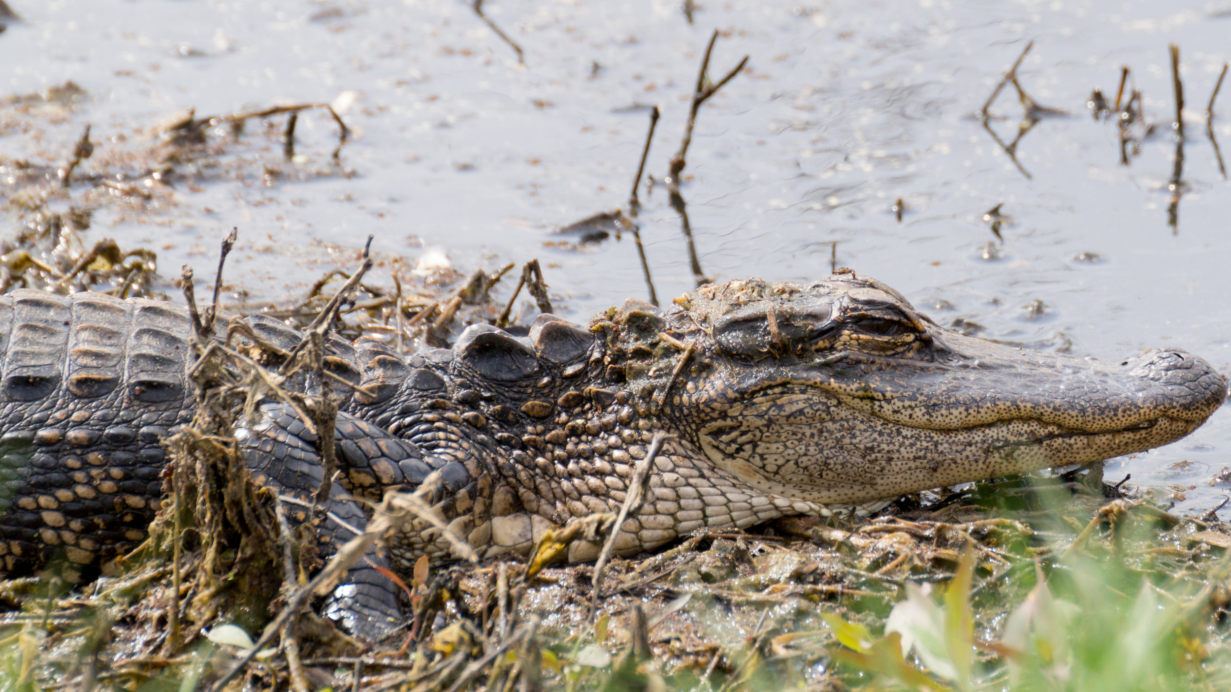 Young alligator crawling through the mud on the shore of a lagoon.