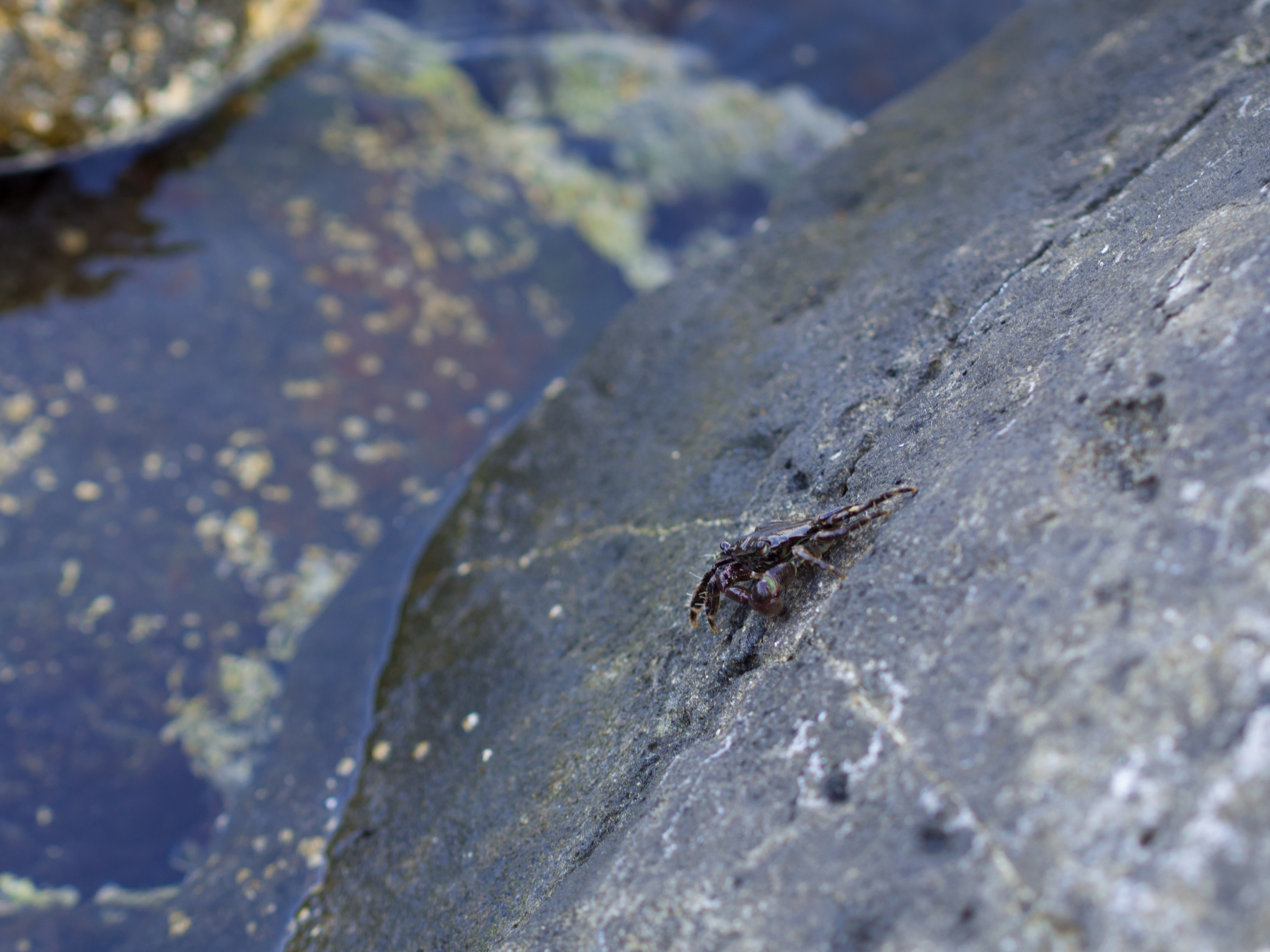 one of the many crabs around the rocks here.