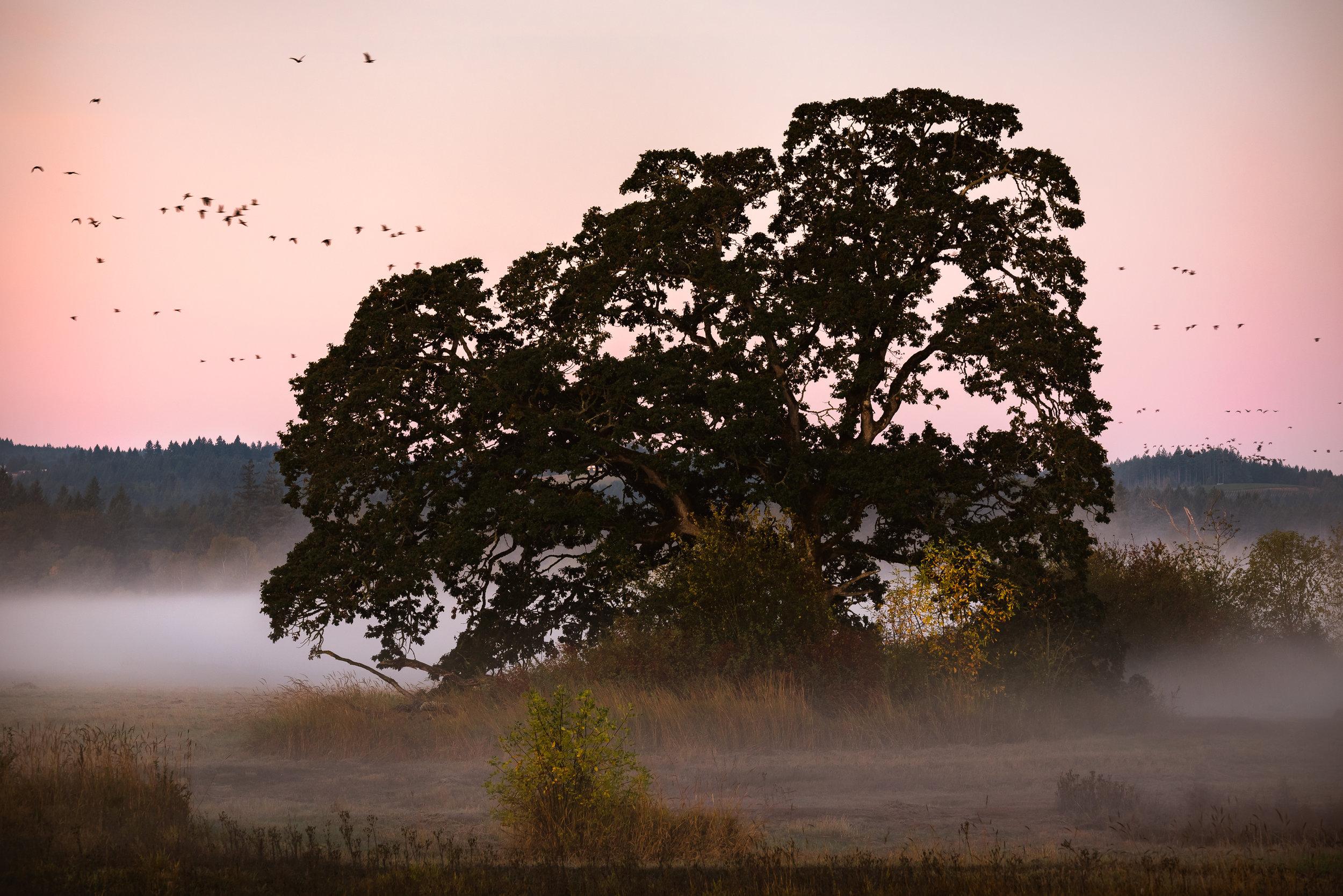 tualatin tree fog birds sunrise