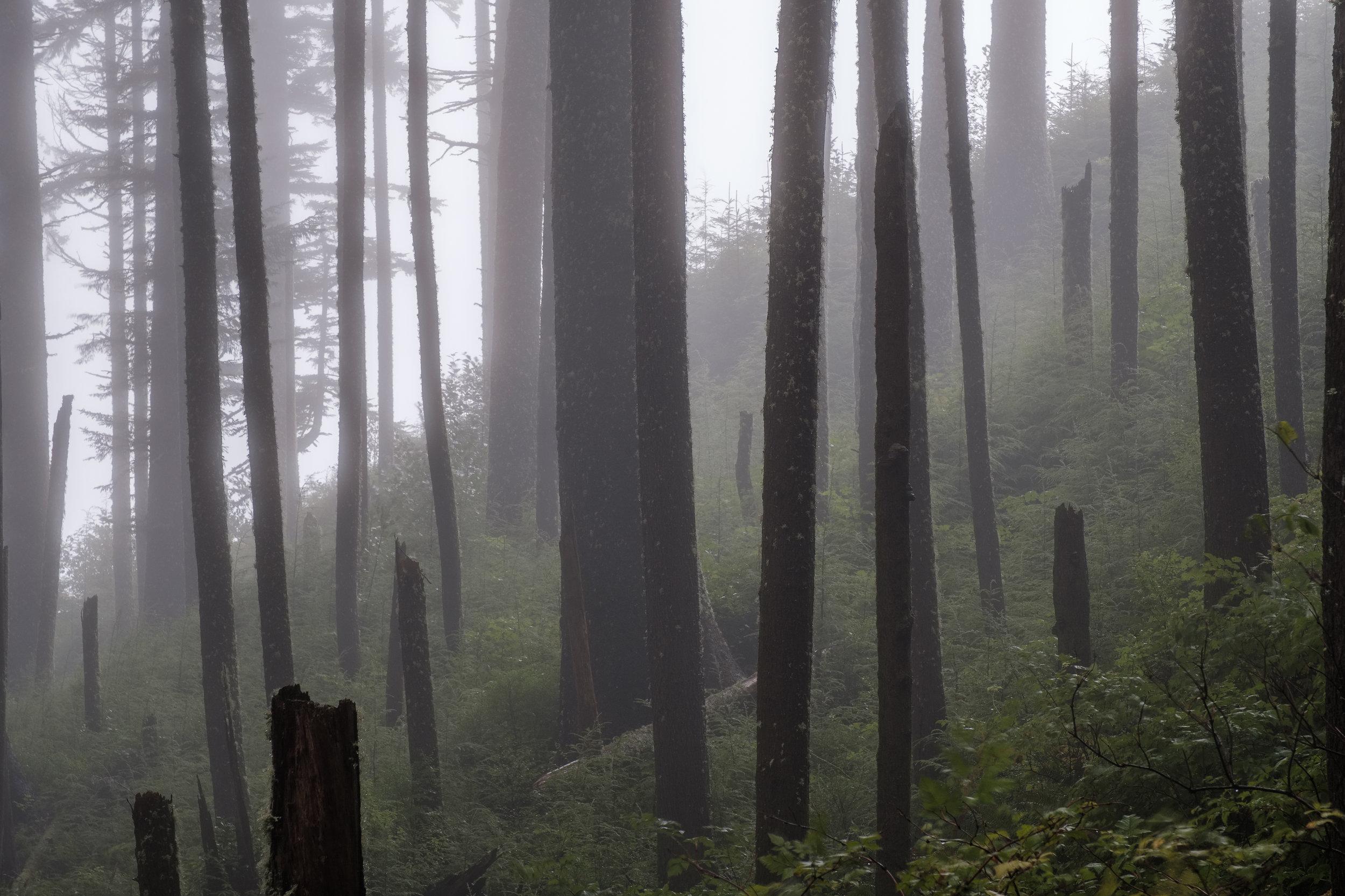 somber forest in fog