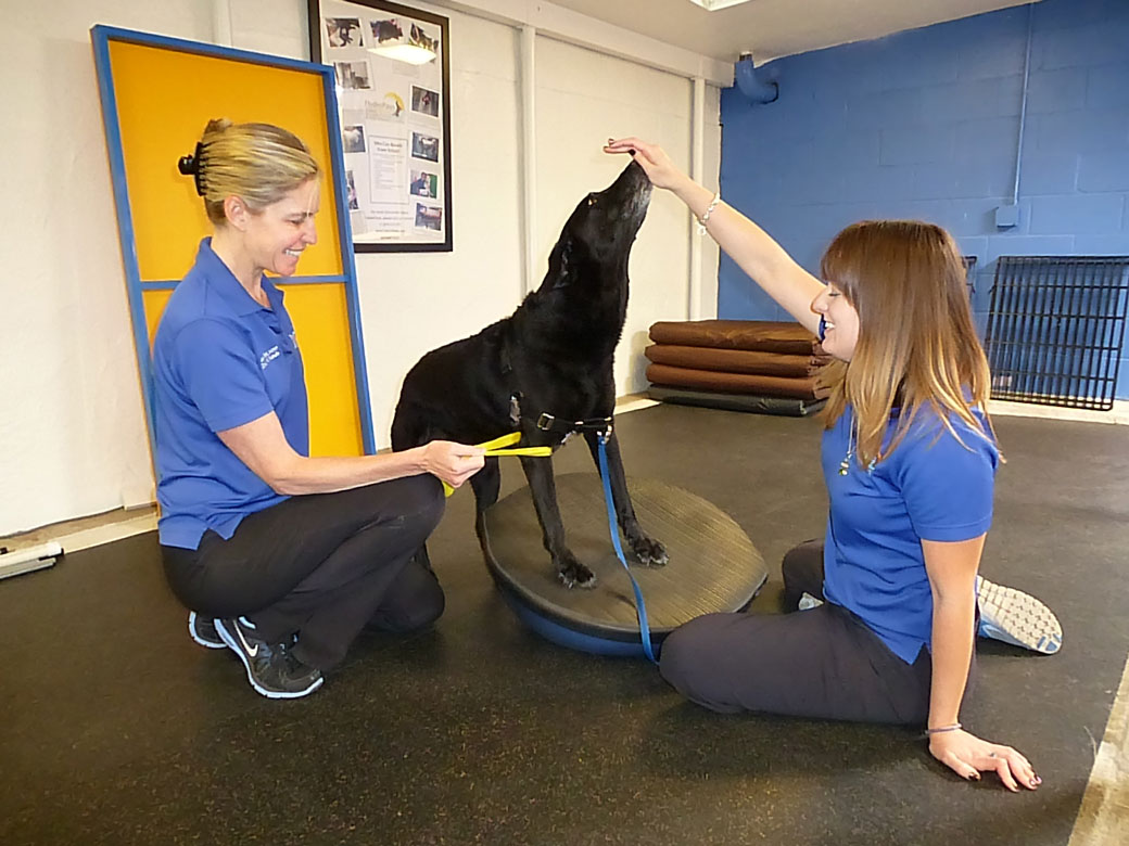 Karen is targeting scapular strengthening by pulling on Plum's forelimb with a thera-band to help her engage her shoulder muscles.