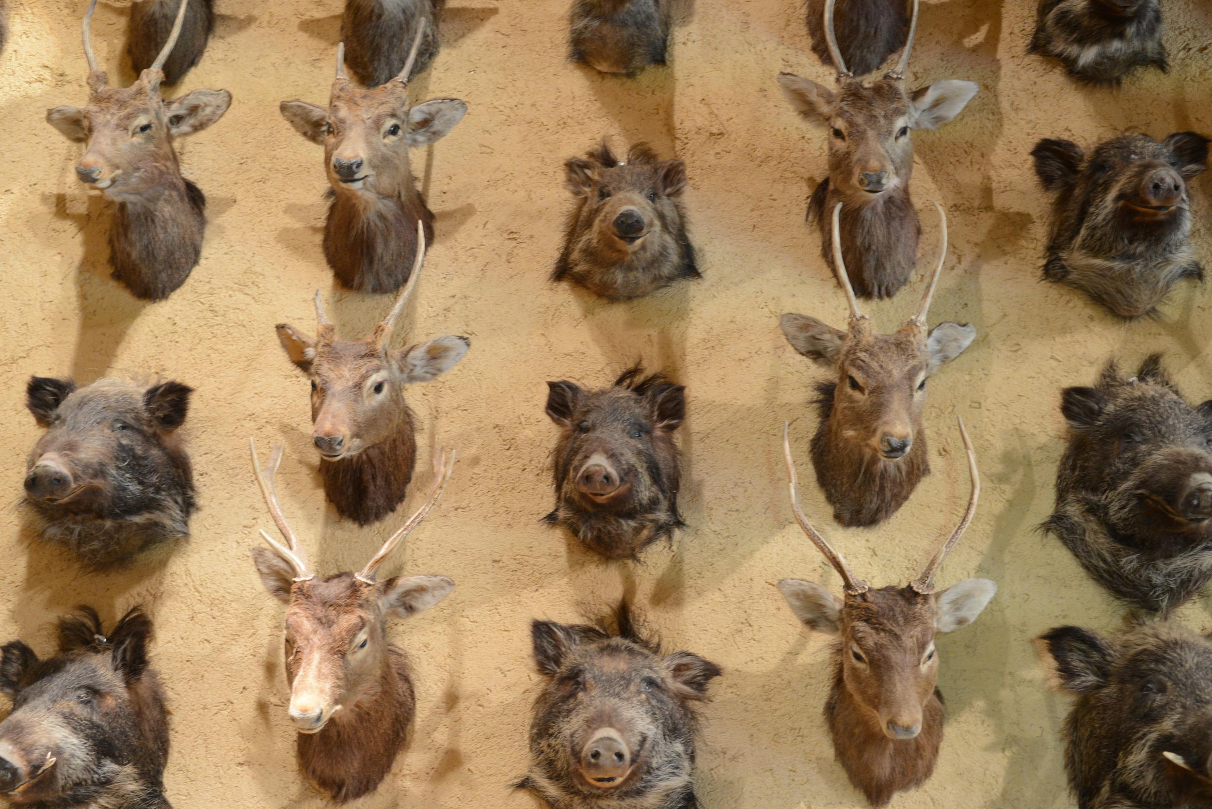 守矢 資料館に飾られてある75の鹿、猪の剥製。この土地では、諏訪大社での御頭祭りにて、75体の鹿の頭をお供え物として献上する風習がある。御頭祭は縄文人の神祭りが基本となっているのだけれども唯一無二の不思議な神事。