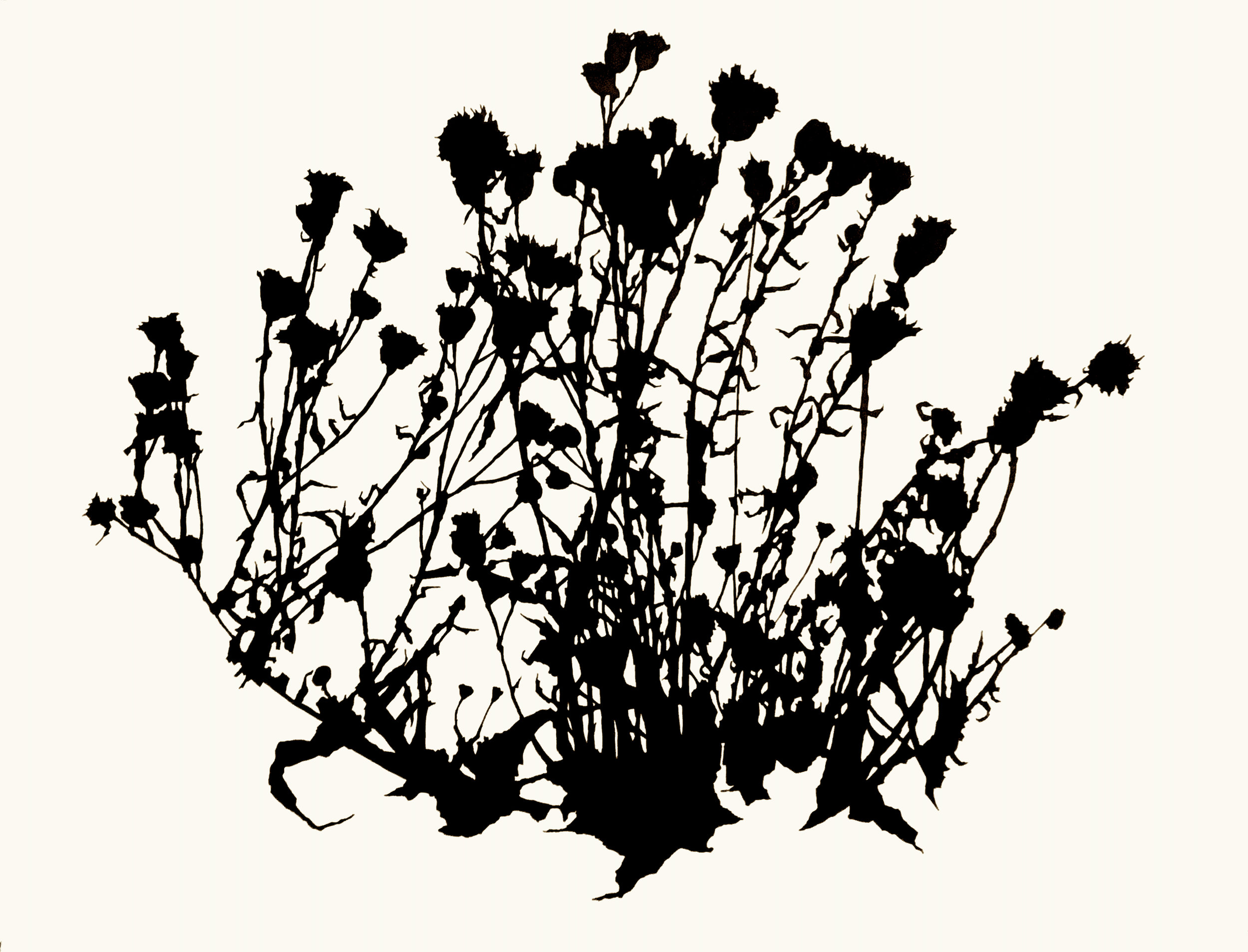 """Dead Thistle Study , December, Matfield Green, Ink on paper, 38 x 50"""""""