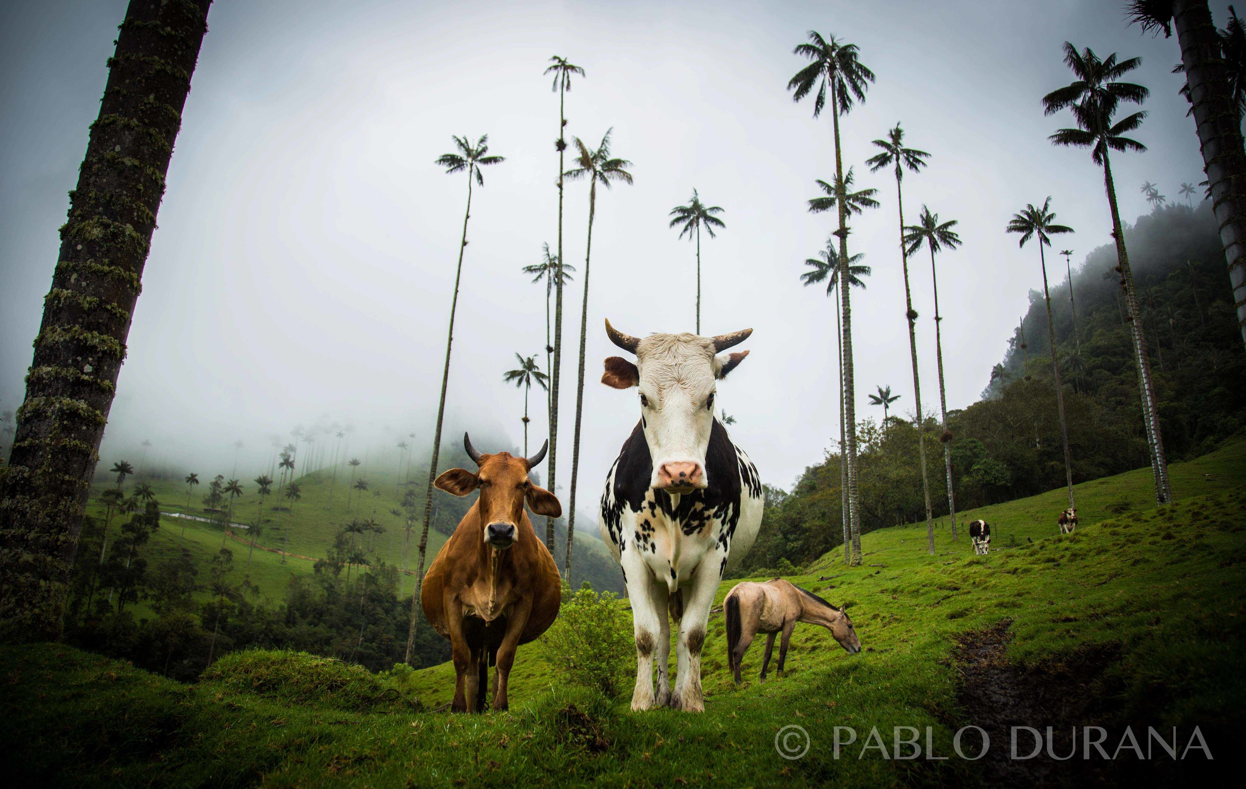 Cows & Wax Palms | Colombia
