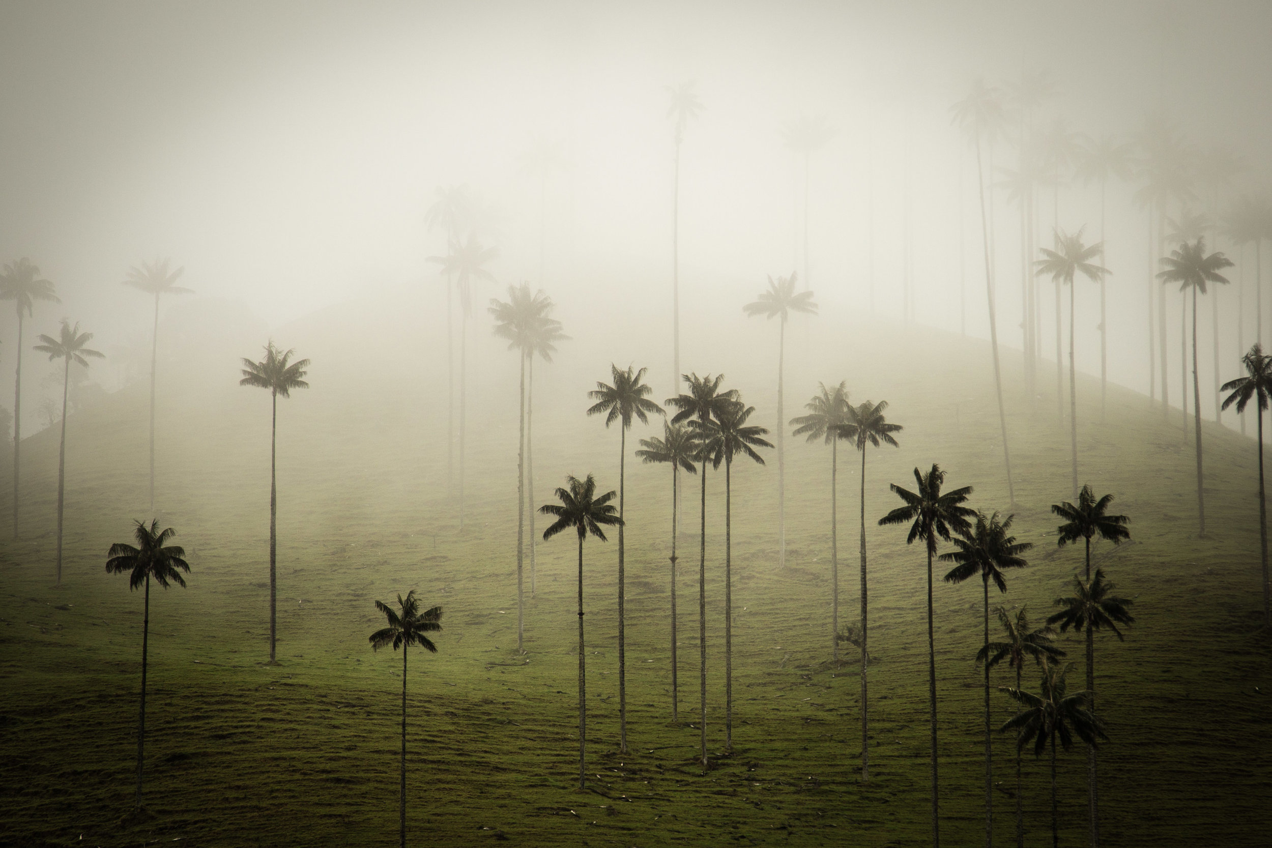 Wax Palms & Pastures | Colombia