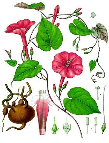 Franz Eugen Köhler, Köhler's Medizinal-Pflanzen    , Public Domain