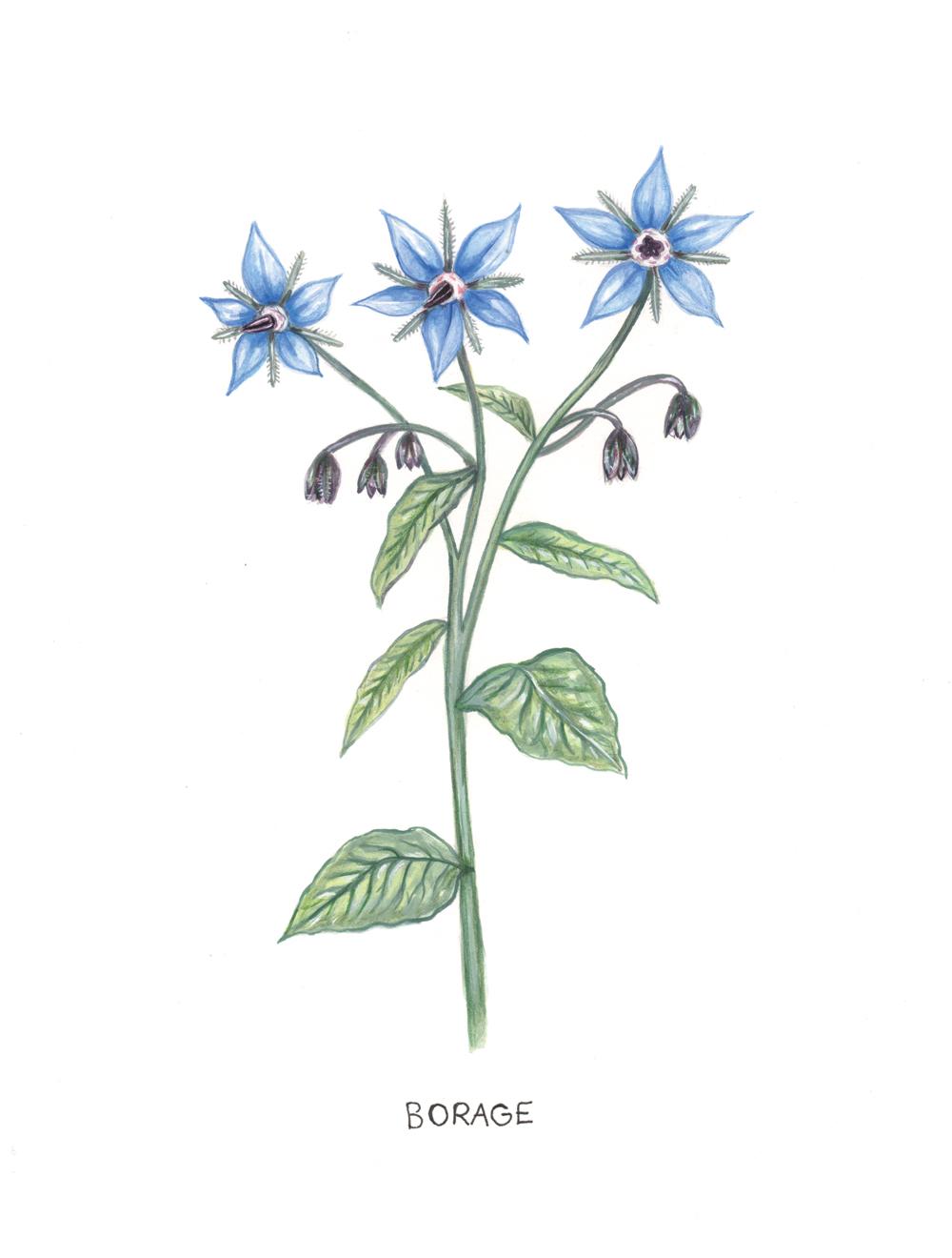 Botanical Illustraion