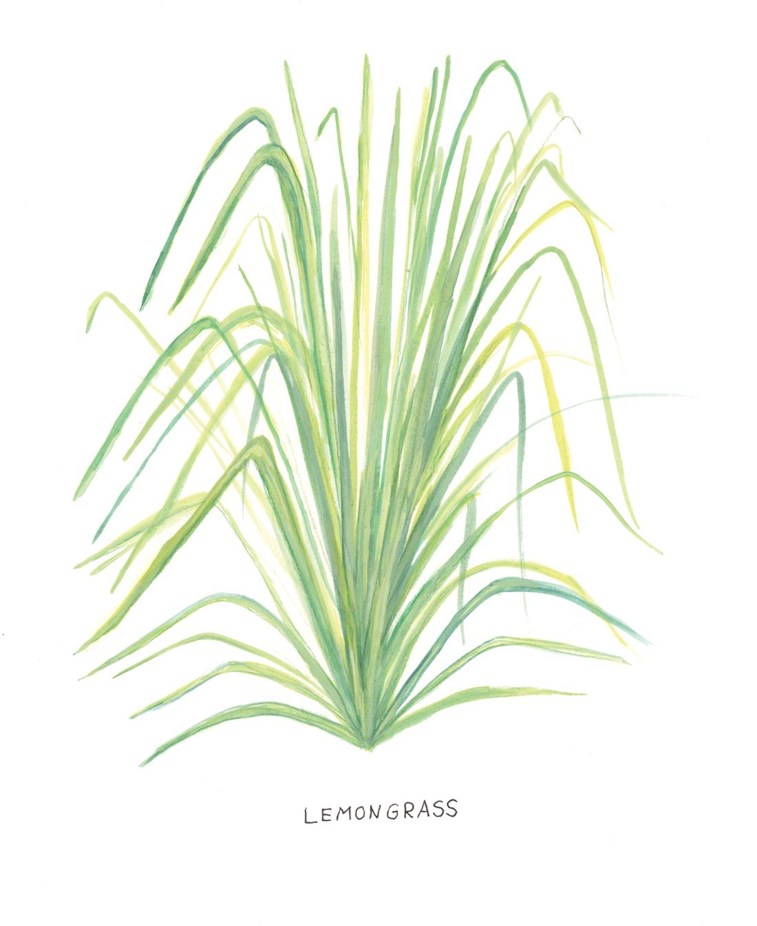 Lemongrass Botanical Illustration