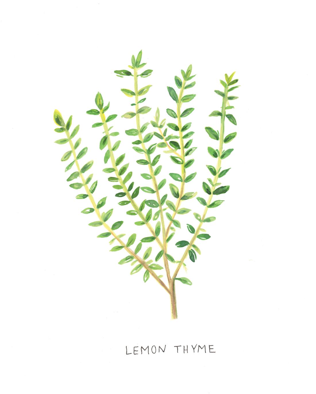 Lemon Thyme Botanical Illustration