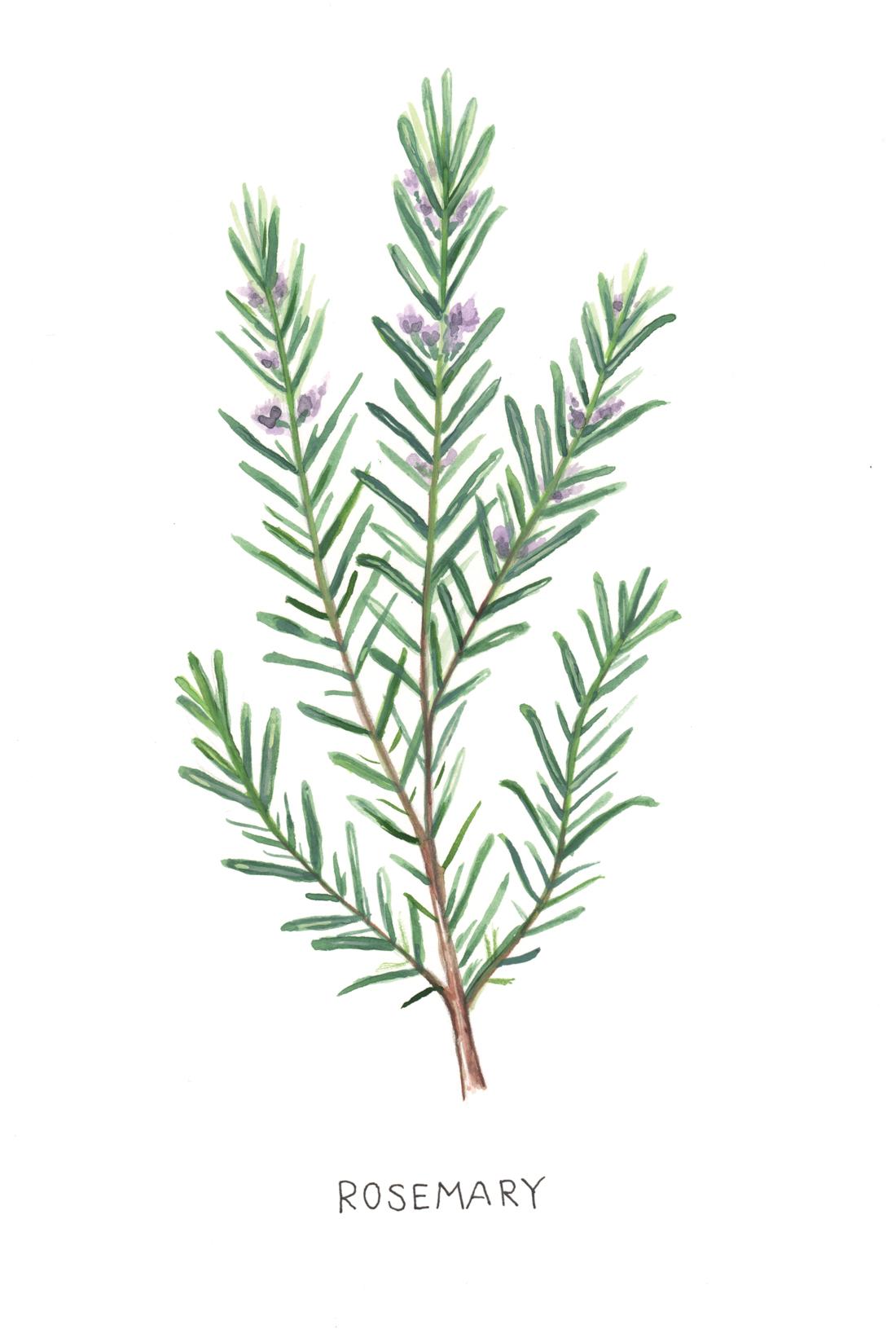 Rosemary Botanical Illustration