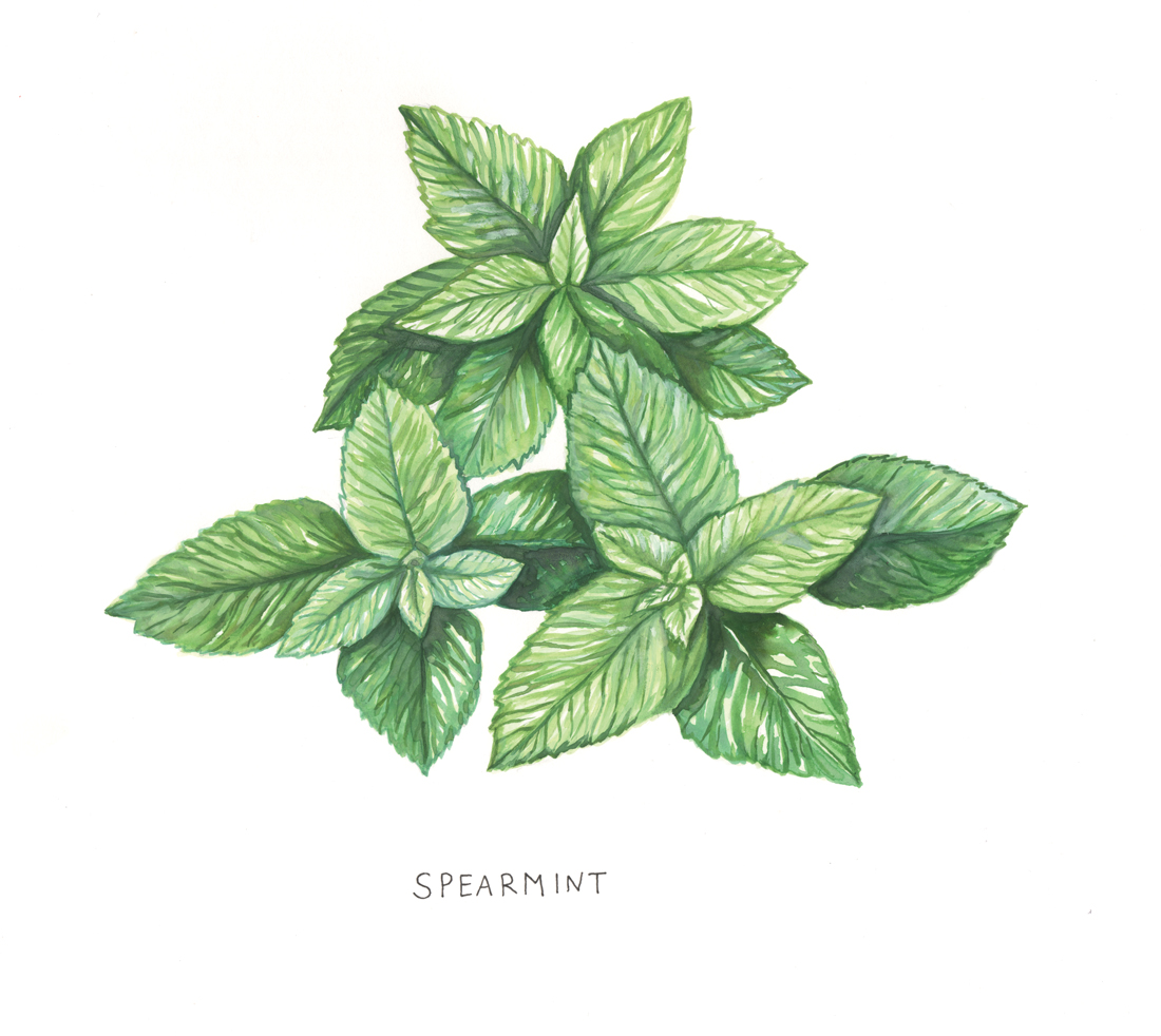 Spearmint Botanical Illustration